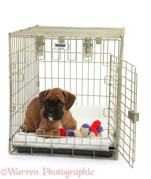 Boxer puppy, Boris, 12 weeks old, in a crate with a toy, white background