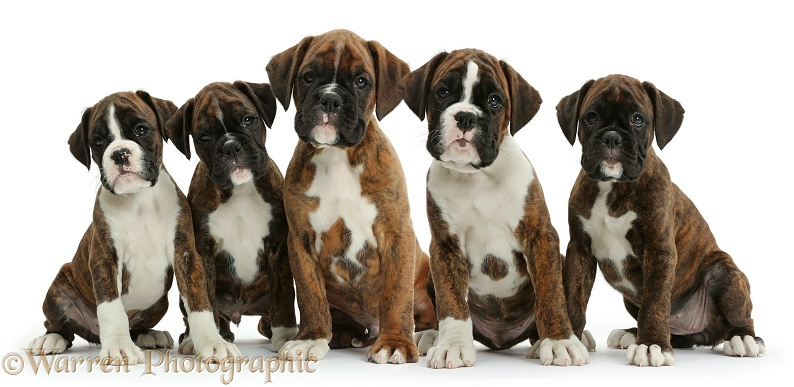 Five Boxer puppies, 8 weeks old, white background