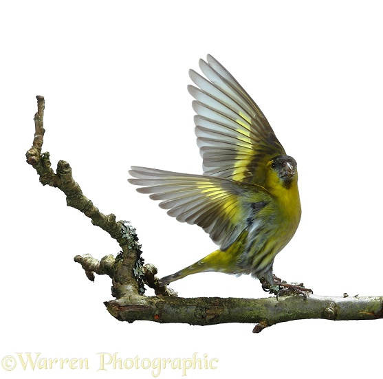 Siskin (Carduelis spinus) male taking off, white background