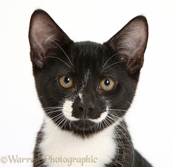 Black-and-white male kitten, Tuxie, 3 months old, white background