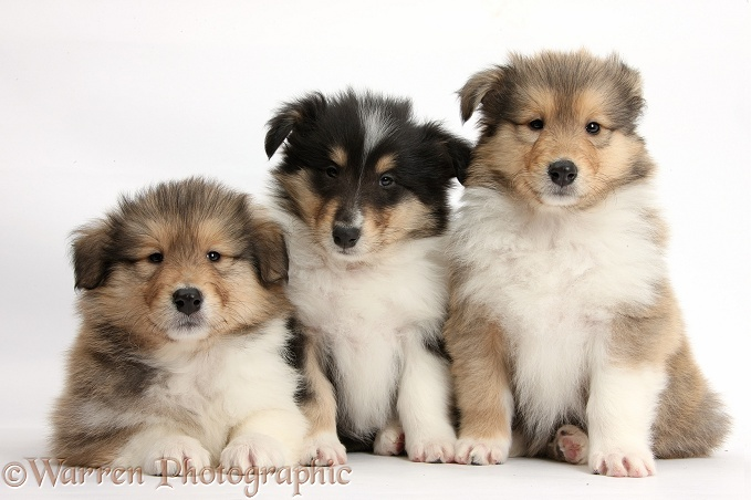 Three Rough Collie pups, 7 weeks old, white background