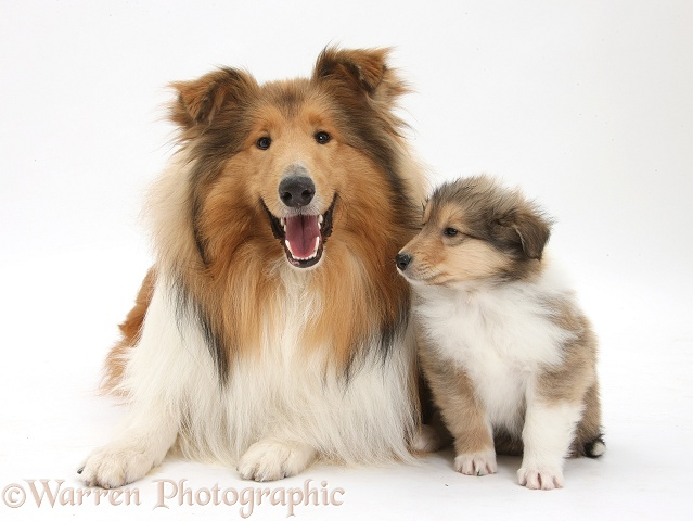 Sable Rough Collie dog, and puppy, 7 weeks old, white background