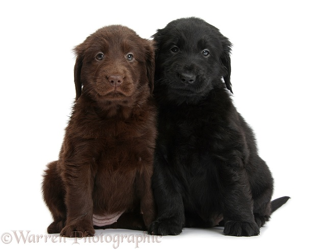 Liver and black Flatcoated Retriever puppies, 6 weeks old, sitting together, white background