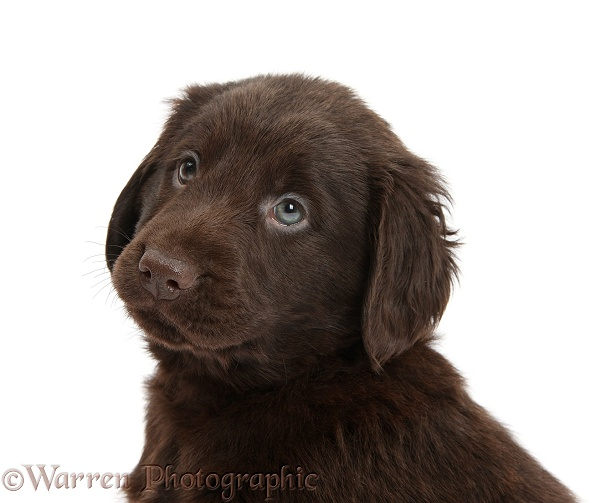 Dog: Liver Flatcoated Retriever puppy, 6 weeks old photo WP38071