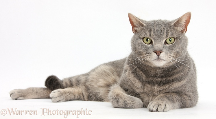Blue-grey tabby male cat, Pippin, 4 years old, lying with head up, white background