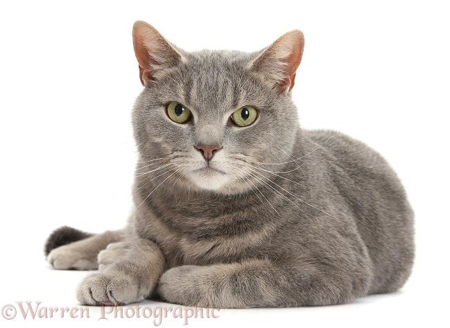 Grey white tabby cat