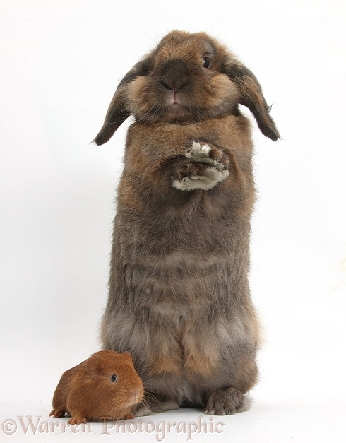 Baby red Guinea pig and Lionhead Lop rabbit, Dibdab, standing up with raised paws, white background