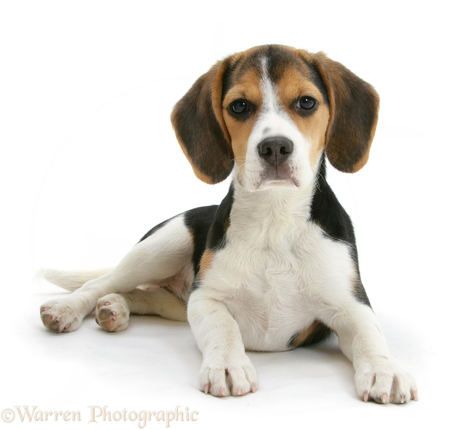 Beagle pup, Florrie, 4 months old, lying with head up, white background