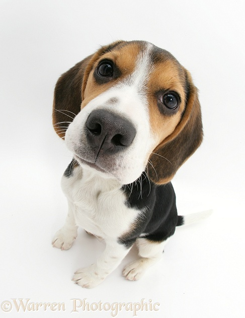 Beagle pup, Florrie, 4 months old, sitting and looking up, white background