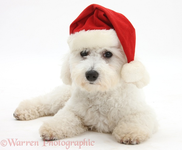 Bichon Frise dog, Louie, 5 months old, wearing a Father Christmas hat, white background