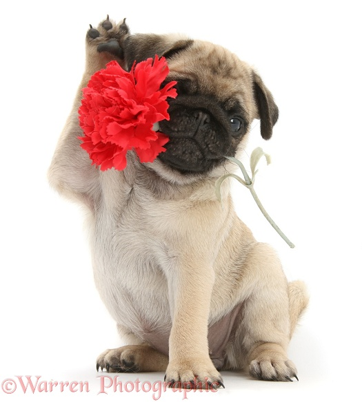 Fawn Pug pup, 8 weeks old, holding a red carnation flower, white background