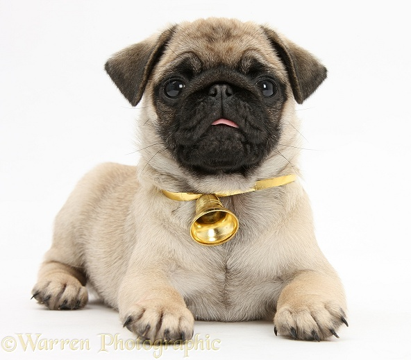 Fawn Pug pup, 8 weeks old, lying with head up, wearing a bell, white background