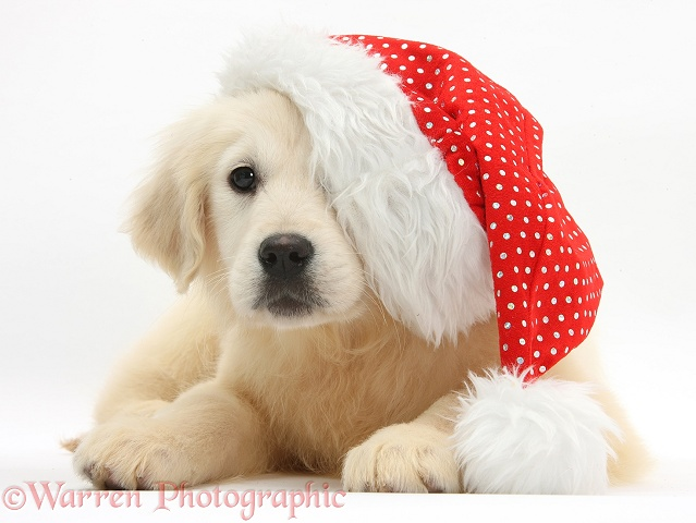 Yellow Labrador Retriever pup, Daisy, 16 weeks old, wearing a Father Christmas hat