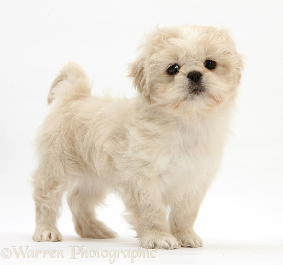 Cream Shih-tzu pup, Lilly, 7 weeks old, standing, white background
