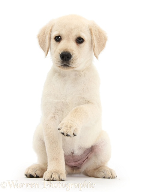 Yellow Labrador Retriever puppy, 8 weeks old, sitting with raised paw, white background