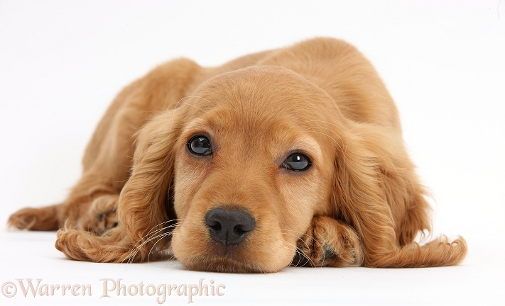 Golden Cocker Spaniel puppy, Maizy, lying with chin on the floor, white background