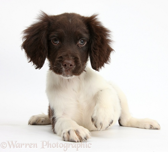 Chocolate-and-white Cocker Spaniel puppy, white background