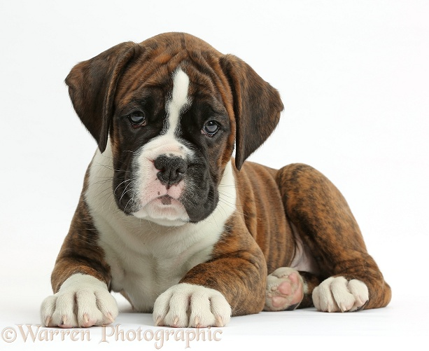Boxer puppy, 8 weeks old, lying with head up, white background
