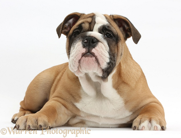 Bulldog puppy, 12 weeks old, lying with head up, white background