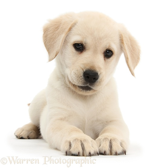 Yellow Labrador Retriever puppy, 8 weeks old, lying with head up, white background