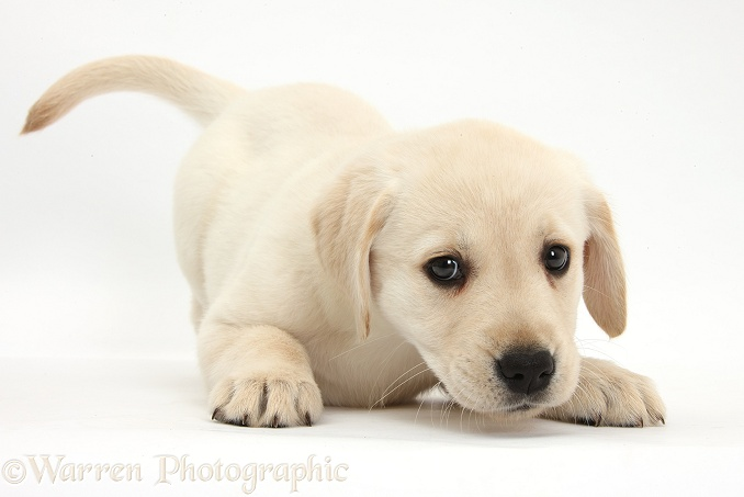 Yellow Labrador Retriever puppy, 8 weeks old, in play-bow stance, white background