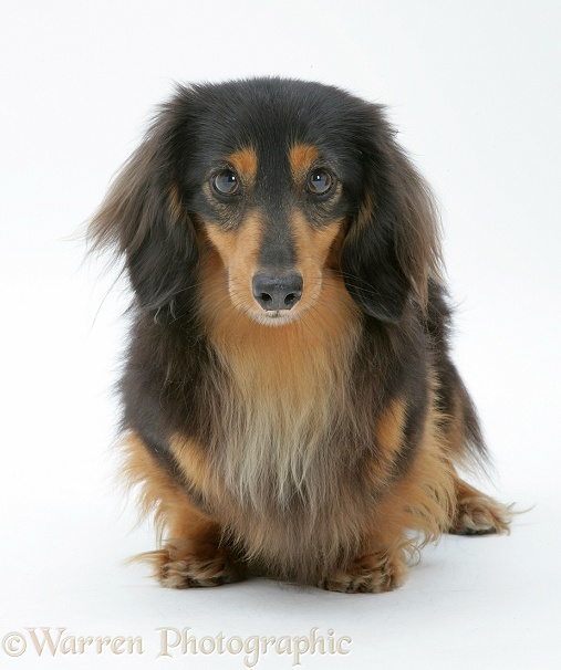 Miniature longhaired Dachshund, white background