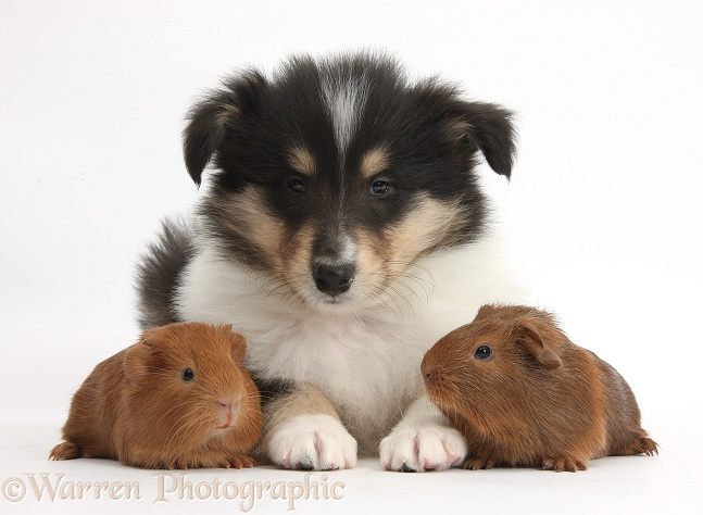 Tricolour Rough Collie puppy and baby red Guinea pigs, white background