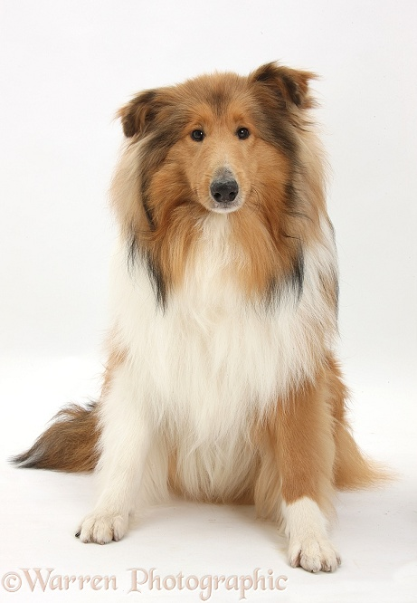 Collie Dog And Cats