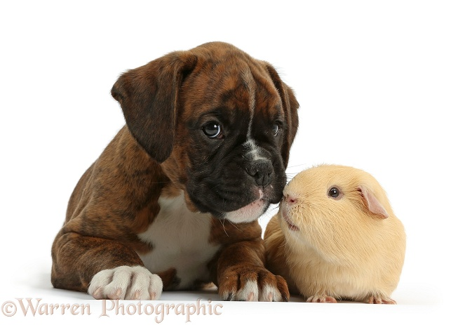 Boxer puppy, 8 weeks old, with yellow Guinea pig, white background