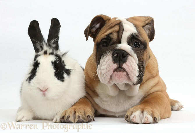 Bulldog puppy, 12 weeks old, with black-and-white rabbit, Bandit, white background