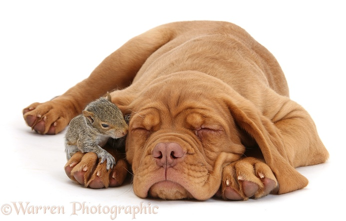 Dogue de Bordeaux puppy, Freya, 10 weeks old, sleeping with Grey Squirrel under her ear, white background