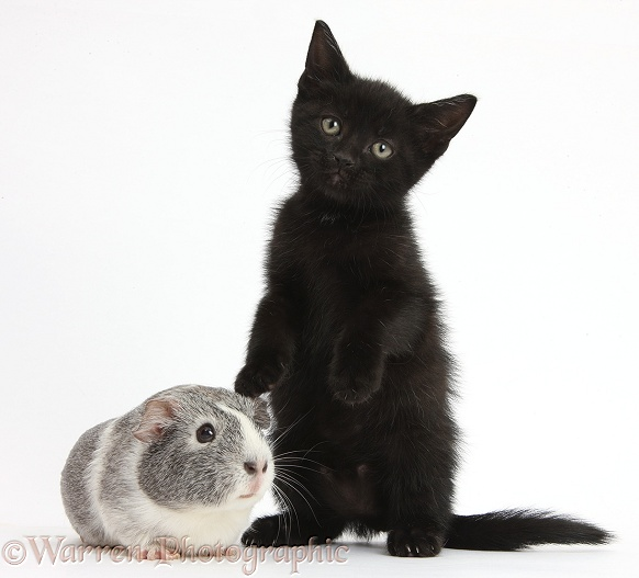 Black kitten and silver-and-white Guinea pig, white background