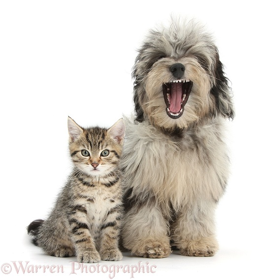 Tabby kitten, Stanley, 8 weeks old, with yawning fluffy black-and-grey Daxie-doodle pup, Pebbles, white background
