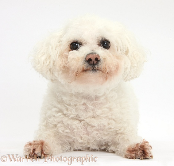 Bichon Frise bitch, Poppy, lying with head up, white background