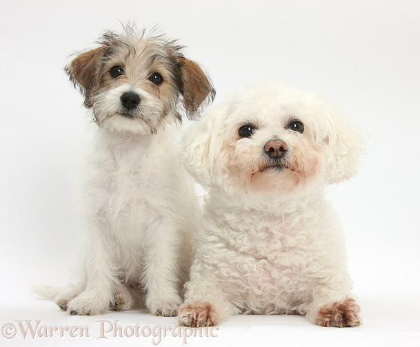 Bichon Frise bitch, Poppy, with Bichon x Jack Russell Terrier puppy, Bindi, 12 weeks old, white background