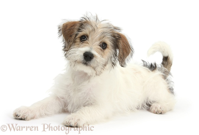 Bichon Frise x Jack Russell Terrier puppy, Bindi, 12 weeks old, white background