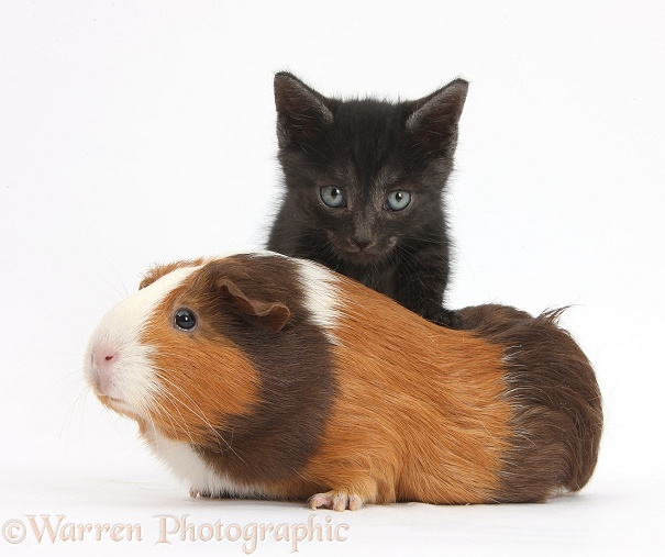 Black kitten and tricolour Guinea pig, Amelia, white background