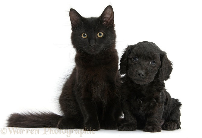 Black Maine Coon kitten and Cute Daxiedoodle puppy, white background