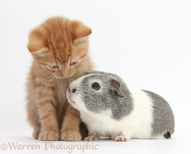 Ginger kitten and silver-and-white Guinea pig, white background