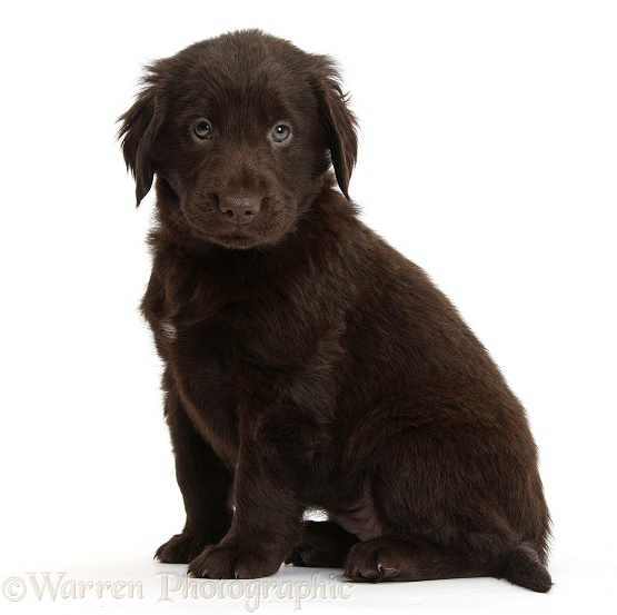 Liver Flatcoated Retriever puppy, 6 weeks old, sitting, white background