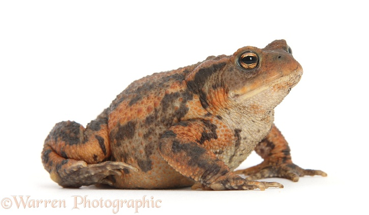 European Common Toad (Bufo bufo), white background