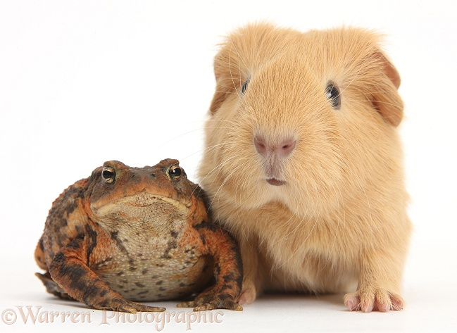 European Common Toad (Bufo bufo) and baby yellow Guinea pig, white background