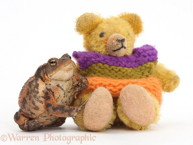 European Common Toad (Bufo bufo) and tiny teddy bear, white background