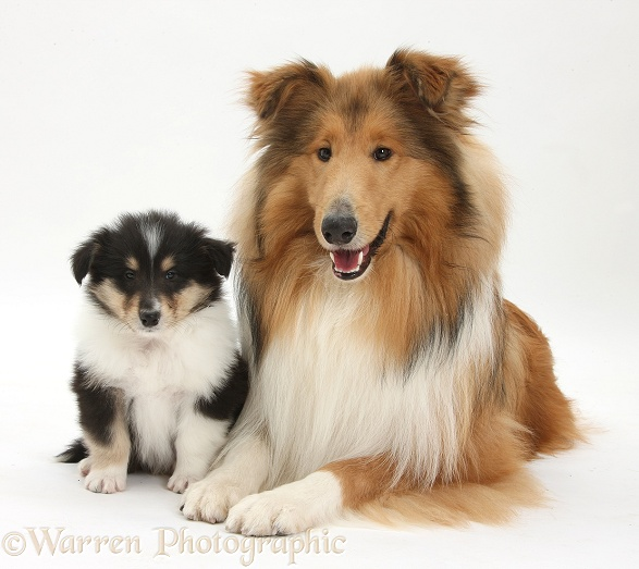 Sable Rough Collie dog, and tricolour puppy, 7 weeks old, white background