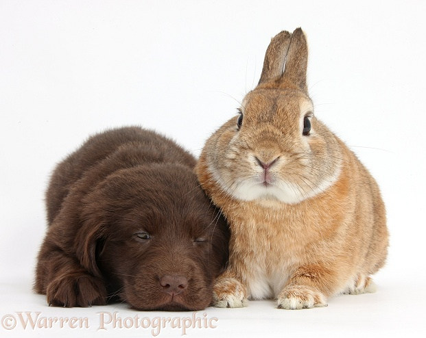 Liver Flatcoated Retriever puppy, 6 weeks old, with Netherland Dwarf-cross rabbit, Peter, white background
