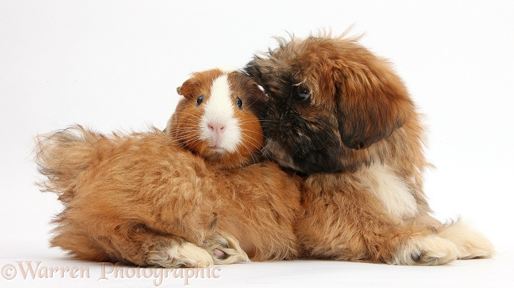 Brown Shih-tzu pup and tricolour Guinea pig, white background