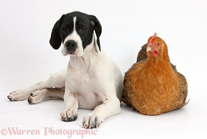 English Pointer puppy, Isla, 10 weeks old, with a chicken, white background