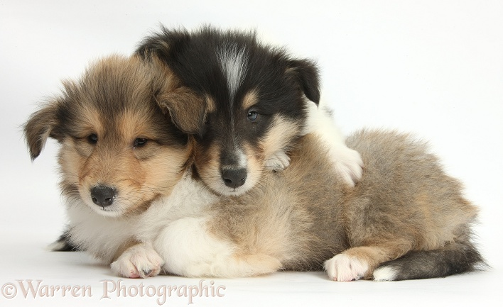 Two Rough Collie pups, 7 weeks old, white background