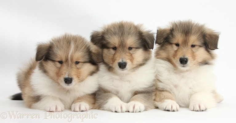 Three sable Rough Collie pups, 7 weeks old, white background