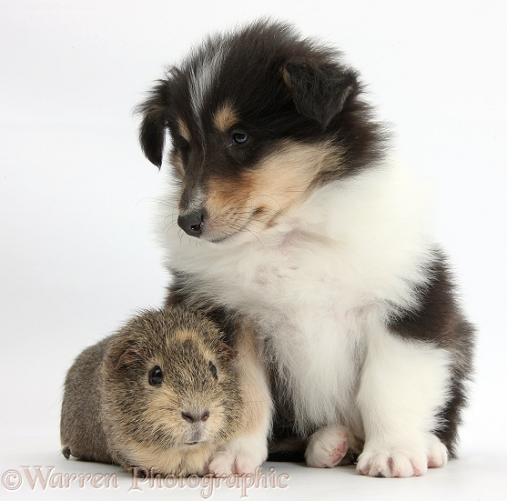 Tricolour Rough Collie puppy and Guinea pig, white background